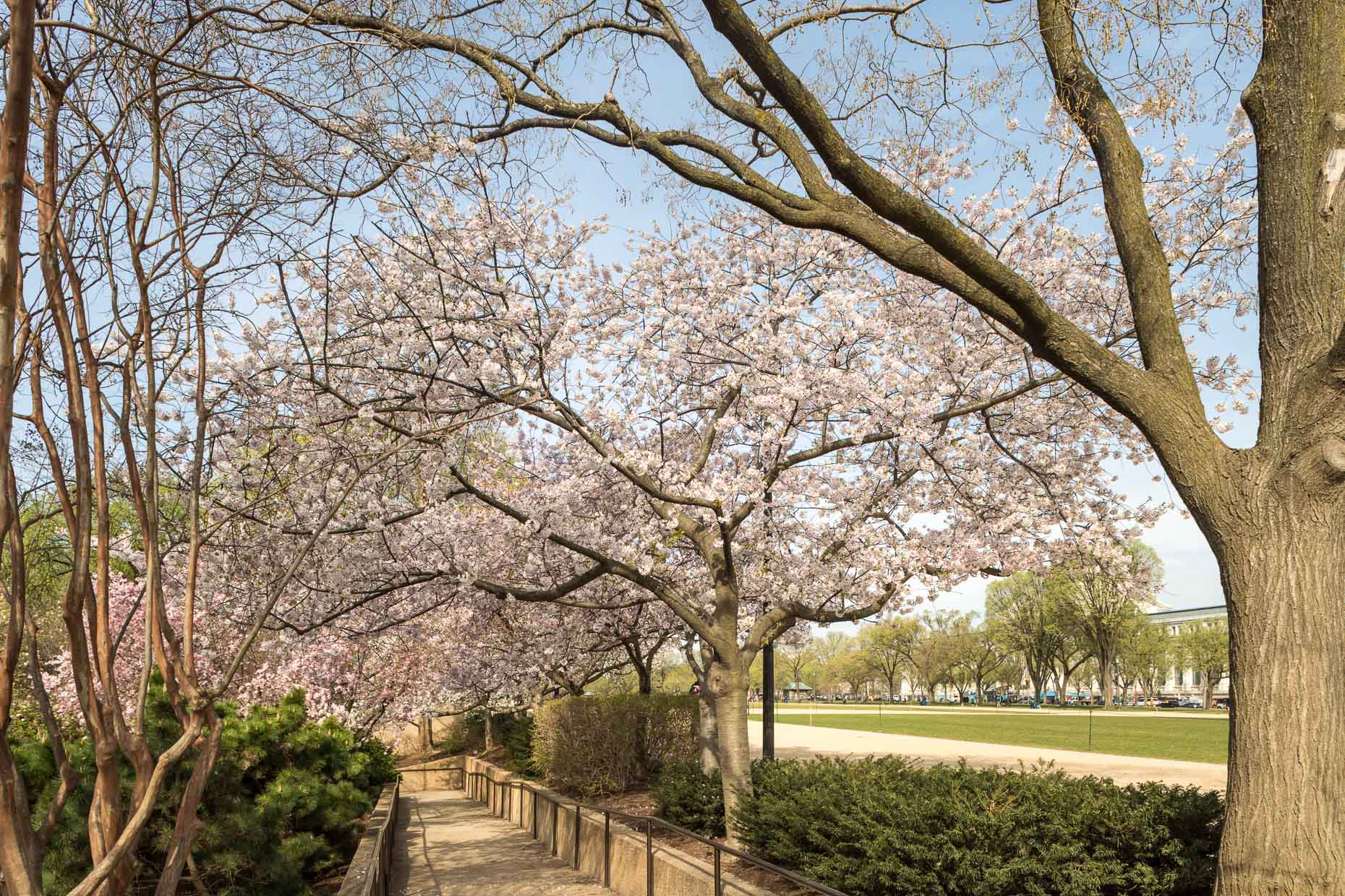 Yoshino Cherry tree | Smithsonian Gardens