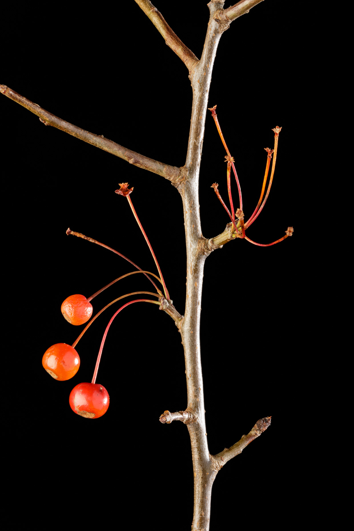 Crapapple stem and fruit