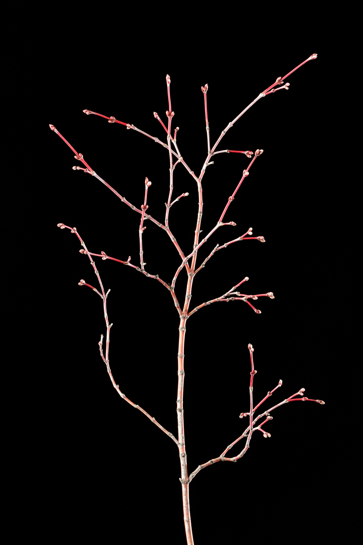 Japanese Maple stem | Smithsonian Gardens