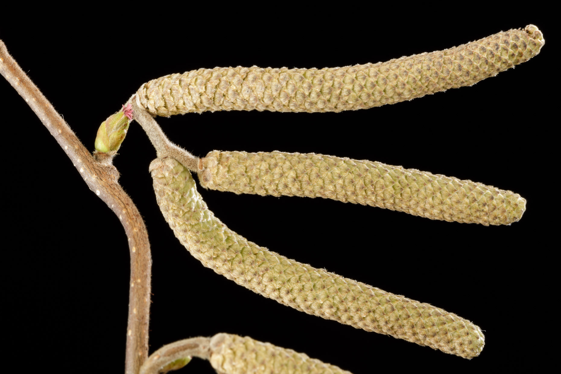 Common Hazel flower | Smithsonian Gardens