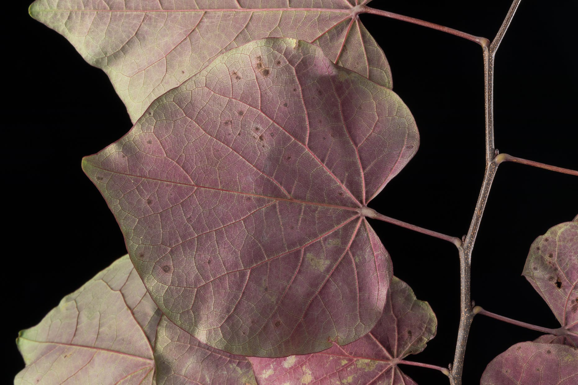 Red Bud leaf