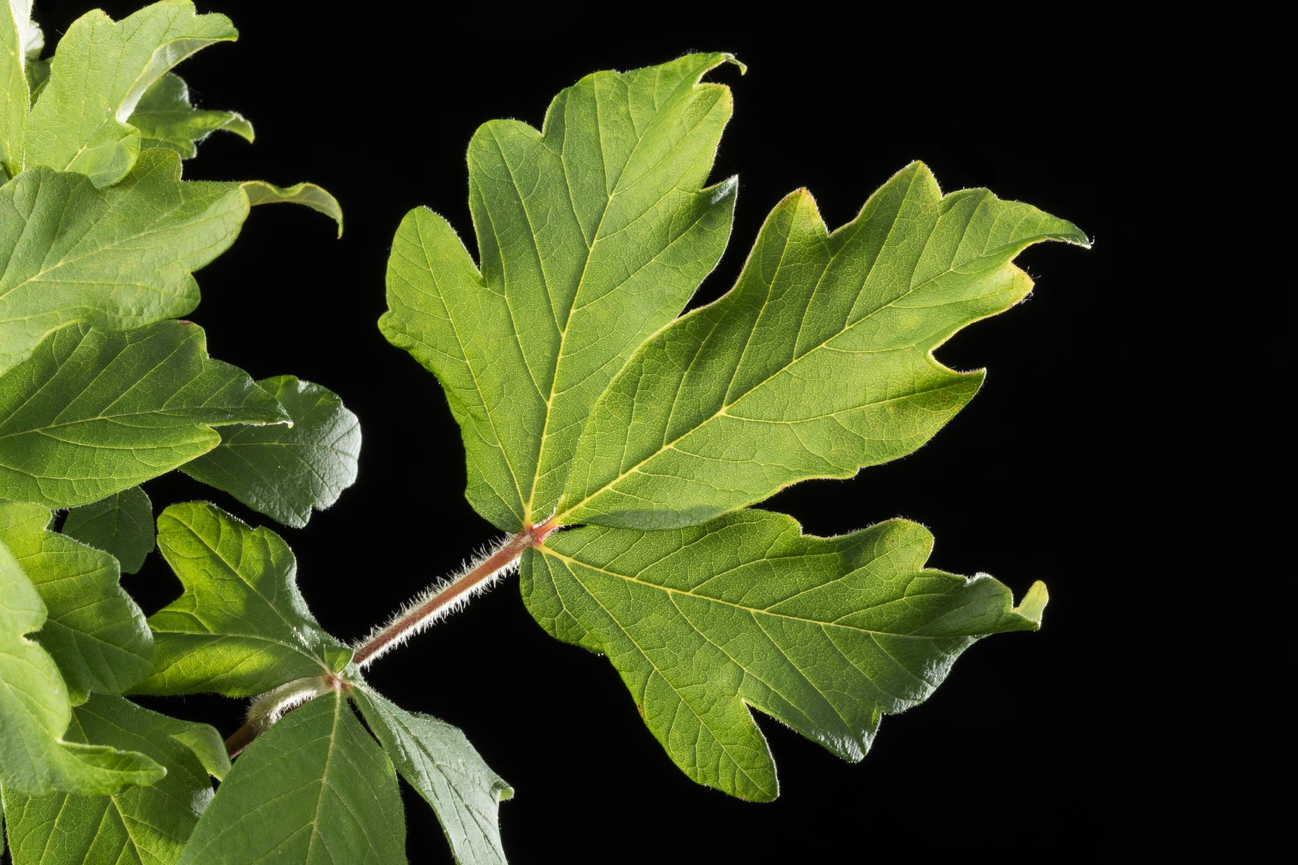 Paperbark Maple Leaf | Smithsonian Gardens