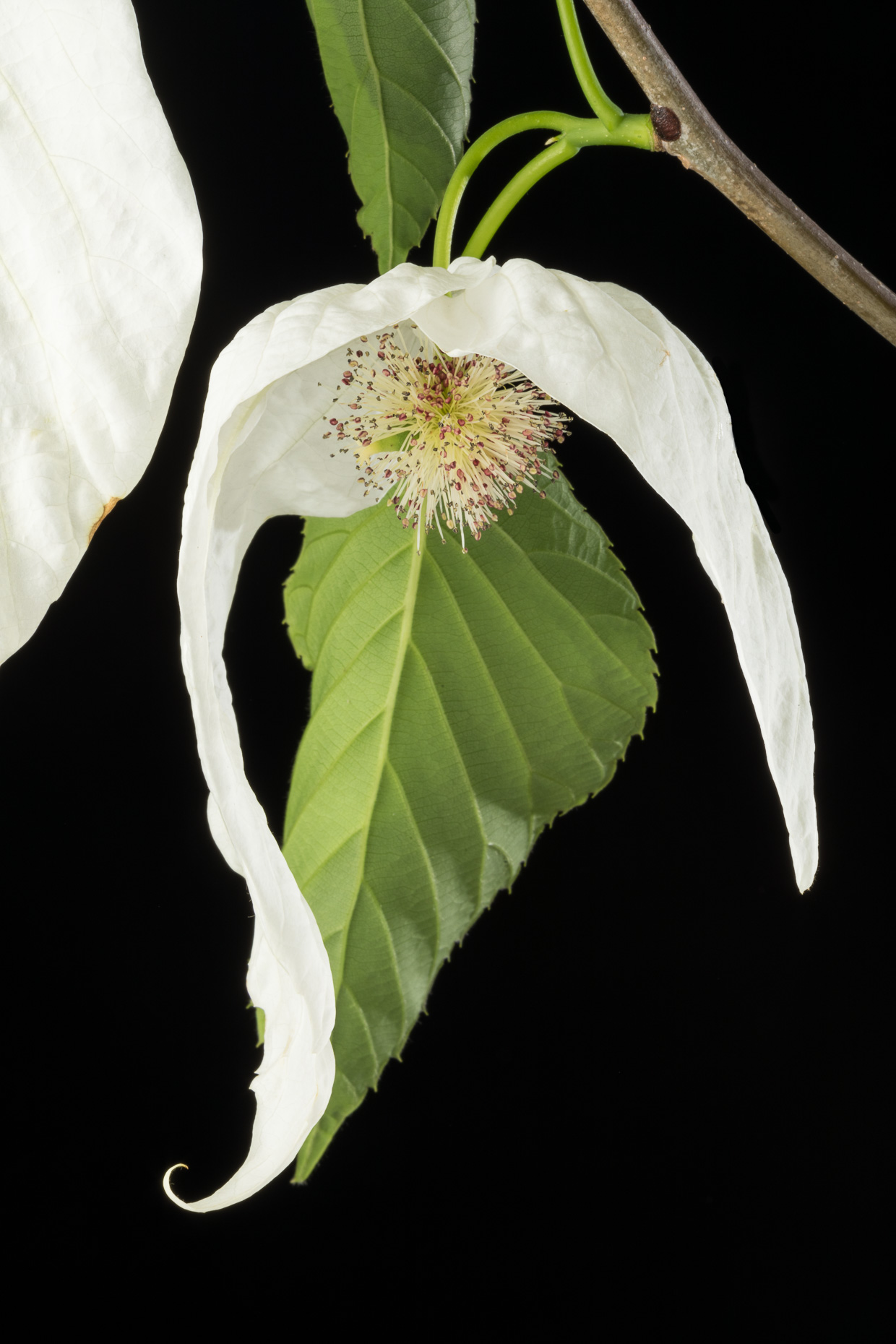 Dove tree flower