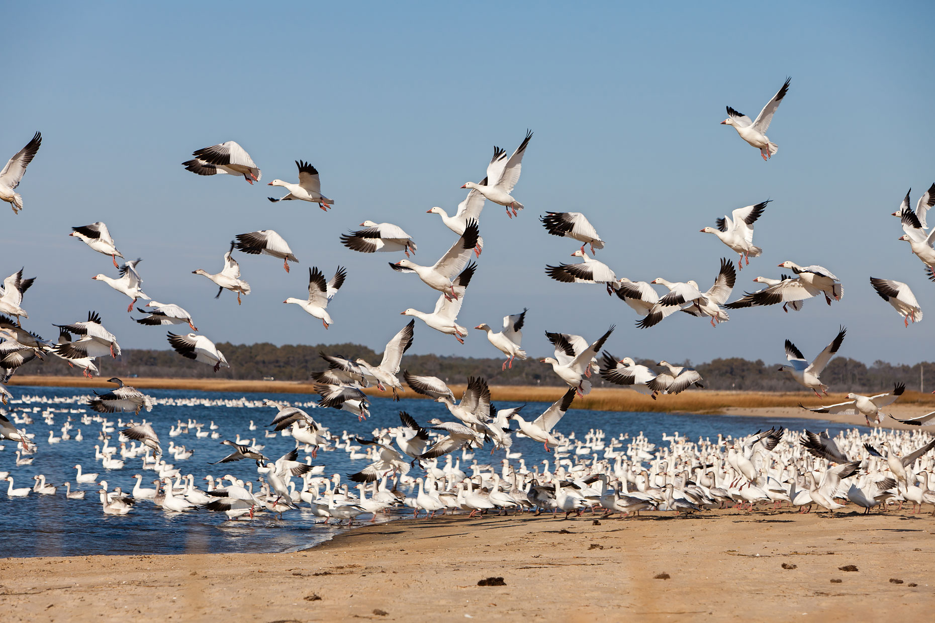 Nature + Landscape│Snow Geese Migration, Chincoteague, Virginia